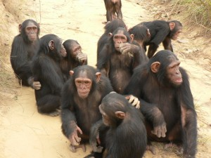 chimps-society