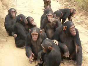 chimps-society